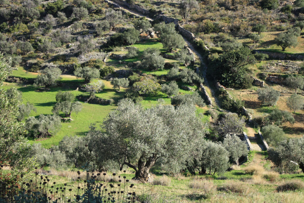 Olive groves in Lefkes.