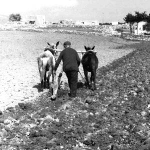 Όργωμα με μουλάρια στην περιοχή Λαού, έξω από τη Μάρπησσα, 1972.